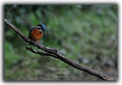 Martin pêcheur d'Europe - Alcedo atthis - Common Kingfisher (ChantCarr) Tags: oiseau oiseaux rougegorge commonkingfisher alcedoatthis gironde martinpêcheur naturewatcher wwwchantcarrcom httpschantcarrwordpresscom