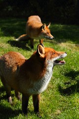 'Flo' and 'Frodo' (crowlem) Tags: beautiful animal female mammal fox bwc flo vixen redfox vulpesvulpes britishwildlifecentre canoneos7d