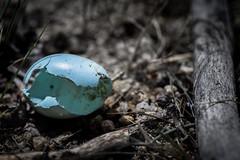 Broken (iflanzy) Tags: blue tree bird fall broken nature robin animal river egg boise fallen cracked
