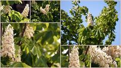 Kastanienblte - chestnut blossom (picccus) Tags: chestnut castaa kastanie kastanienblte marronnier chestnutblossom marronnierenfleurs castaaenfloracin