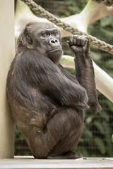 2015-04-26-13h51m26.BL7R1732 (A.J. Haverkamp) Tags: zoo switzerland gorilla basel quarta dierentuin westelijkelaaglandgorilla canonef100400mmf4556lisusmlens pobbaselswitzerland dob17071968 httpwwwzoobaselch