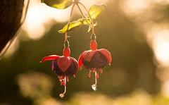 Beautiful flower (naddesigns) Tags: flower lights dof redflower flowerwatcher heacen flowerbukeh