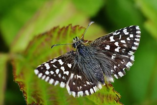 Grizzled Skipper resting