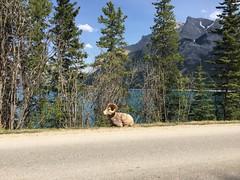 Rocky Mountain Sheep (danwdotca) Tags: mountain lake canada sheep rocky alberta banff rockymountains lakeminnewanka minnewanka