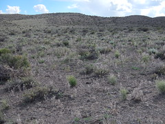 Sagebrush steppe: south of Fields, Oregon (Matt Lavin) Tags: oregon fields steensmountains cheatgrass bromustectorum oryzopsishymenoides atriplexconfertifolia sagebrushsteppe chrysothamnusviscidiflorus grayiaspinosa wyomingbigsagebrush artemisiatridentatawyomingensis elymuselymoides artemisiaspinescens amsinkiatesselata