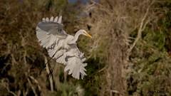 Great Egret over Silver Glen. (flintframer) Tags: florida wildlife central birds great heron canon eos 7d mark ii ef100400 nature flight