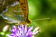32244 (io me4) Tags: farfalla fiori butterfly colore macro bokeh nikon nikon85micro d7000 natura insetti