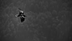 Dark mood. (VB31Photo) Tags: vb31photo nature natural wildlife wild crow corbeau corneille bird noire noir carrion corvus corone blanc mono monochrome pyrnes france mind mood dark