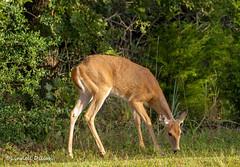 Whitetail doe (Lindell Dillon) Tags: doe whitetail deer wildlife ungulate oklahoma lindelldillon