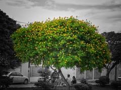 Na sombra... (Mag Sa) Tags: trees verdeeamarelo somecolor leaves streetshot street flowers flower tree canon brazil brasil bahia jacobina
