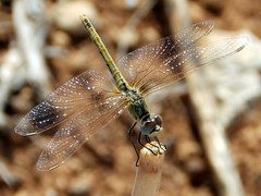 Sympetrum fonscolombii, Red-veined Darter (amantedar) Tags: insect animal fauna dragonfly sympetrumfonscolombii redveineddarter