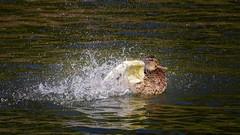 Splash ...it is time for the bath (Yasmine Hens) Tags: bird splash brilliant water canard hensyasmine namur belgium wallonie europa aaa belgi belgia belgien  belgique blgica   belgie  belgio    bel be
