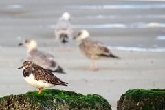Strandleven (Omroep Zeeland) Tags: meeuwen strand paalhoofd zeewier