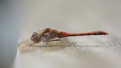 Serene (nyanc) Tags: serene dragonfly nikon nature netherlands bench clear bright red animalia color close d5200 dier europe eye flickr insect insects insecta insekt kleur limburg macro mondo mondoverde nederland natuur outdoor outside prime park sigma vleugels wildlife wings white autumn october 2016