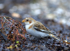 Snow Bunting in the rain (miketabak) Tags: