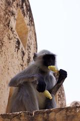 Popsicle eating monkey (natachamurphy) Tags: india rajahsthan monkey