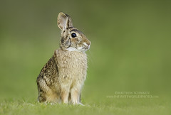 Curious Cottontail Rabbit (Matthew Schwartz) Tags: mattschwartz matthewschwartz canon canoneos7dmarkii ef500mmf4lisiiusm14xiii 700mm captured20160417 uploaded10062016 photo photography infiniteworldphotography naturephotographymasteryacademy fineart rabbit bunny cute mammal cottontail wildlife animal