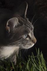 Portrait of a female cat, 'Zilla' (cocoi_m) Tags: macrophotograph portrait female cat zilla