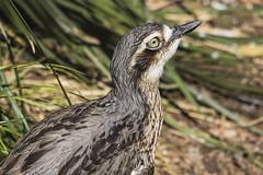 Bush Stone-curlew Burhinus grallarius 2016-10-14 (60D_4554) (ajhaysom) Tags: bushstonecurlew burhinusgrallarius melbournezoo melbourne australia australianbirds canoneos60d sigma120400 100xthe2016edition 100x2016 image67100