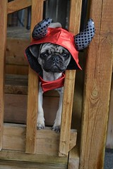 Boo The Devil Pug (DaPuglet) Tags: pug pugs dog dogs pet pets puppy puppies animal animals costume halloween devil cute funny