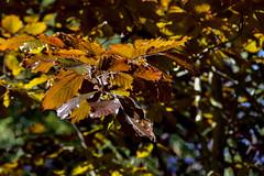 leaves ... (miriam ulivi) Tags: miriamulivi nikond7200 autunno autumn foglie leaves colori colors nature
