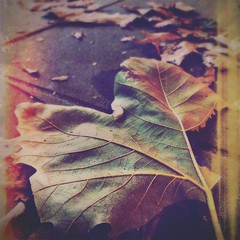 Fading out (Explore 18th October 2016) (Caroline Oades) Tags: cadetbluegel cheshire eric iphone5 hipstamatic pavement color colour leaves dying fallen fading leaf autumn