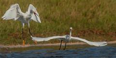 Snowy Egret Agression (cetch1) Tags: birding wild wildlife nature birdsinflight snowyegretbehavior rodeobeachlagoon egrettathula egret heron rodeobeach snowyegret