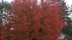 """Local """"Fire"""" - IMGP6491 (catchesthelight) Tags: maple tree fall foliage fallfoliage leaves colorchange red nh autumncolors autumn"""
