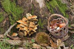 Autumn in the Wood (Teo Prencipe) Tags: bosco castagne funghi autunno castagneto riccio montecalvo piana lumix g6 panasonic chestnuts mushrooms muschio moss gargano