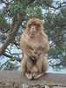 Barbary_Macaque_in_Gibraltar_03 (Abbey_L) Tags: animal barbarymacaque gibraltar macaque mammal monkey tjpio