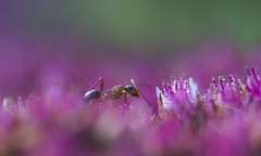 (amy20079) Tags: ant plant redsedum insect maine macro nikond5100 newengland dewdrops droplets september depthoffield morning