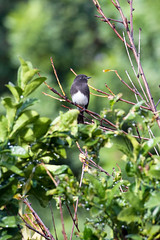 Black Phoebe. (LisaDiazPhotos) Tags: bird watch watching backyard birding wildlife nature black phoebe lisadiazphotos