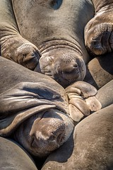 Piedras Blancas Elephant Seals (59roadking - Jim Johnston) Tags: ifttt 500px elephant seal california beach san simeon ocean sea coast animal wildlife animals