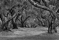 B&W Olive Trees 2 (Greg Harder) Tags: bw oroville 2016 1116 butte olive