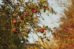 Pensive Autumn (Natali Antonovich) Tags: pensiveautumn autumn nature belgium belgique belgie appletree tervuren