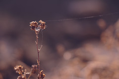Tightrope to the Moon (y_egan) Tags: plants dry winter light spider silk seeds