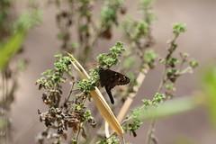 Urbanus sp. (dhobern) Tags: chapadaimperial federaldistrict brazil october 2016 lepidoptera hesperiidae pyrginae urbanus