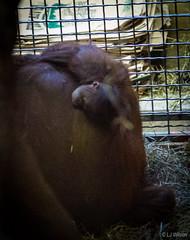 Batang and baby Redd (Lora J Photography) Tags: 2016 batang fonz nationalzoo orangutan redd