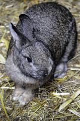 A rabbit Alpha park (.Nico.N.) Tags: lapin rabbit paille straw