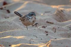 Sagebrush Sparrow-8769G (Paul*Nelson) Tags: michigan michigansupperpeninsula sagebrushsparrow sparrow up upperpeninsula whitefishpoint bird rarebird