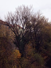 November 11, 2016 14:26:22 (Natascha W) Tags: dreary murufer mur natur nature tree trb trees herbst herbstfarben herbstwetter weather wetter fallfoliage fall autumn autumncolors cloudyday cloudy bewlkt sky himmel nachmittag afternoon fallcolors ufer riverbank flussufer dster wolkig baum bume bltter leaves foliage graz