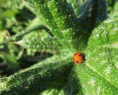 A sunbathing Ladybird (JulieK (finally moved to Wexford)) Tags: hbbbt sevenspotladybird bug insect fauna nature green foliage canonixus170 wexford ireland irish 2016onephotoeachday