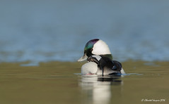 How cute Am i? (Chantal Jacques Photography) Tags: wildandfree cute bufflehead duck sunnyday howcuteami esquimaltlagoon lifeisgood cutestduck