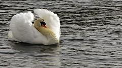 ND6_1734-2 (charlesvanlangeveld) Tags: swans zwanen whiteswans wittezwanen