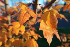 SAM_1857 (falcon170ct) Tags: autumn fall leaves redoak