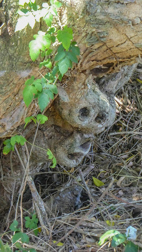 Skull-shaped branch stump