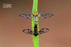 Caeneressa sp. (Antonio Giudici Butterfly Trips) Tags: thailand chiangmai doisuthep syntomini arctiinae erebidae caeneressasp moths lepidoptera