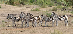 Burchell's Zebra (Bob Eade) Tags: southafrica krugerpark burchellszebra africa safari