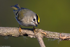 BJ8A9420-Golden-crowned Kinglet (tfells) Tags: passerine princeton mercer newjersey nj nature bird goldencrownedkinglet
