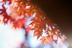 Autumn Maple (samyaoo) Tags:            autumn taiwan fushoushan farm maple momiji red leaf taichung bokeh